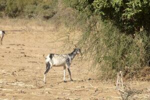 BF_15_GEN_Goat_Feeding